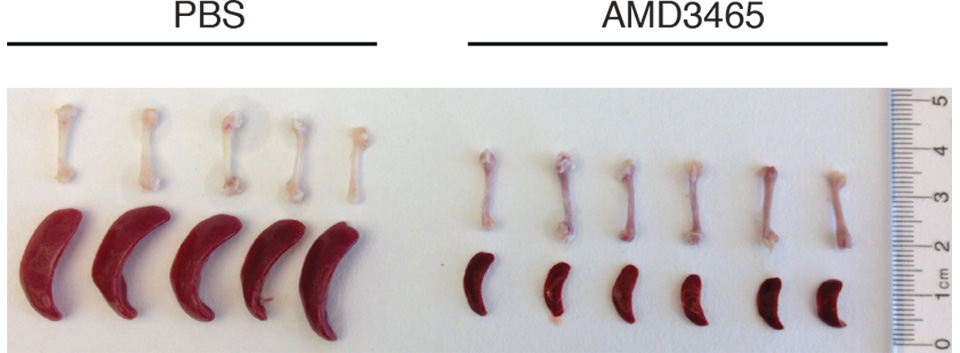 Bone Marrow and Spleen Tissue Samples from Mice