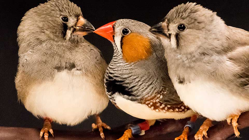 Zebra Finch Parent with Young Birds