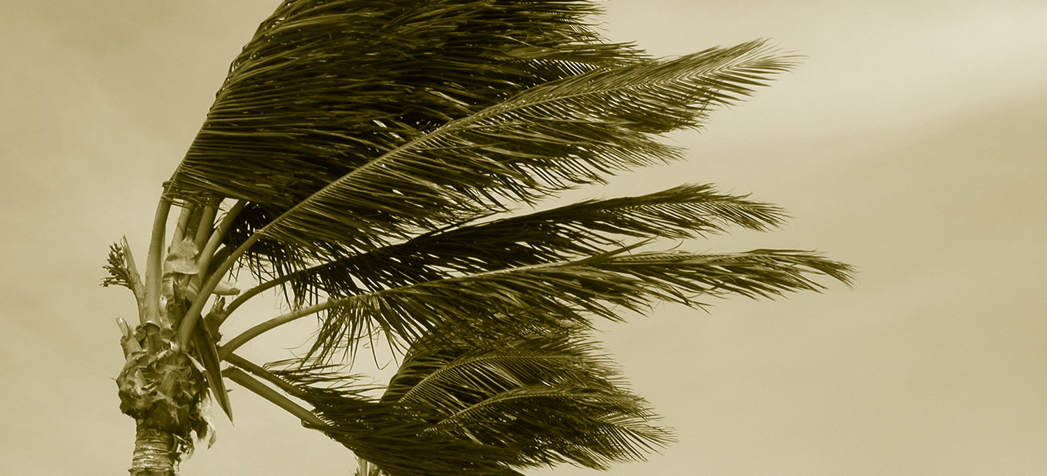 Palm Tree Blows Amid Hurricane Force Winds