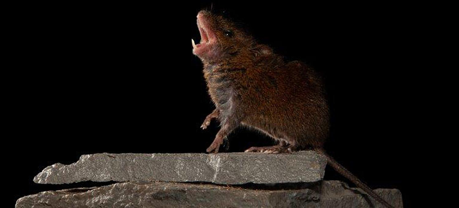 Singing Mouse